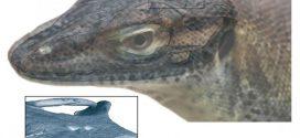 Découverte d'un fossile de lézard à 4 yeux