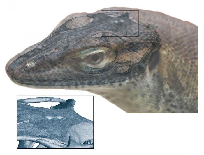 Reconstruction d'une espèce disparue du lézard avec 4 yeux. Les organes pinéale et parapinéale sont visibles au sommet de la tête - Crédit : Senckenberg Gesellschaft für Naturforschung / Andreas Lachmann / Digimorph.org