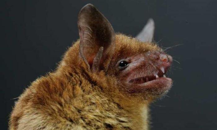 Une chauve-souris de l'espèce Rhinolophe - Crédit : EcoHealth Alliance