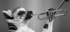 Comment les lémuriens se font-ils des amis et influencent-ils leurs semblables ?