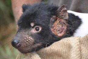 Un diable de Tasmanie avec une tumeur transmissible - Crédit : Maximilian Stammnitz