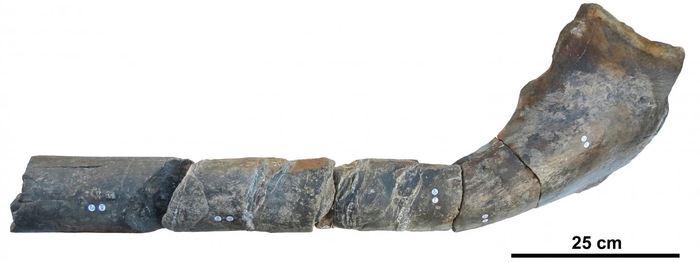 L'os de la machoire d'un ichtyosaure géant - Crédit : Dean Lomax, The University of Manchester