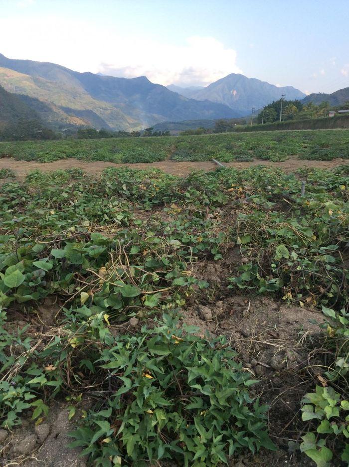 Un champ de patate douce à San Ramon au Pérou - Crédit : Robert Scotland