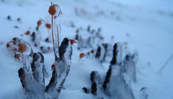 Des plantes dans l'Arctique - Crédit : Amanda Koltz