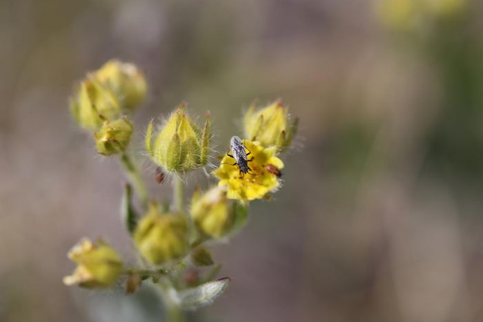 Nysius groenlandicus, un insecte herbivore qui deviendra plus abondant avec les changements de température - Crédit : Toke Høye