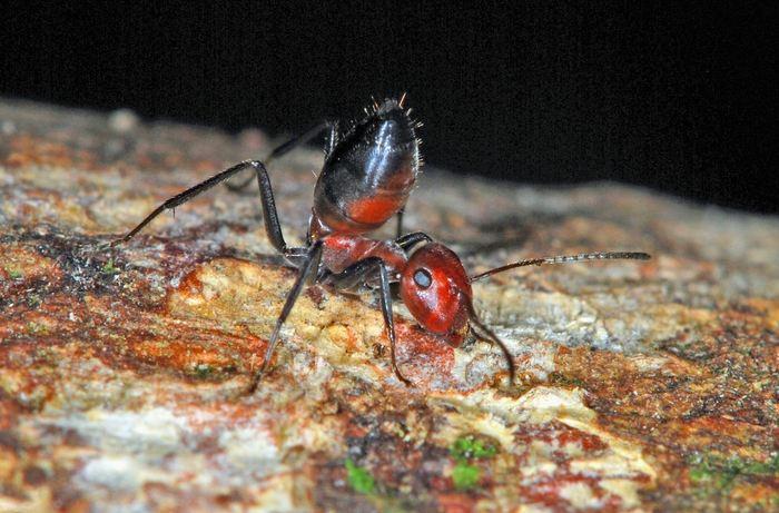 Colobopsis explodens, une fourmi explosive qui lève son postérieur dans une position défensive - Crédit : Alexey Kopchinskiy