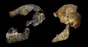 Les crânes d'Homo naledi possède des traces de leurs cerveaux. Malgré que ce cerveau possède une taille qui est seulement le tiers du cerveau humain, il possède des caractéristiques humaines - Crédit : John Hawks