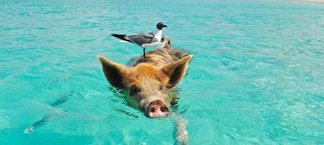 Le Deltacoronavirus porcin, un virus du porc récemment identifié, peut infecter des cellules humaines et celles d'autres espèces cultivées en laboratoire et c'est une découverte qui soulève des inquiétudes quant à la possibilité d'épidémies qui menacent la santé humaine et animale.