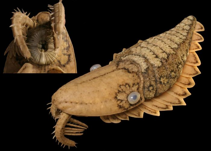 Un modèle de la lignée Peytoia, basée sur les fossiles de Burgess Shale au Canada.   En haut à gauche : Gros plan des parties de la bouche et des appendices frontaux.   En bas à droite : Vue d'ensemble du corps.  Crédit :  E. Horn