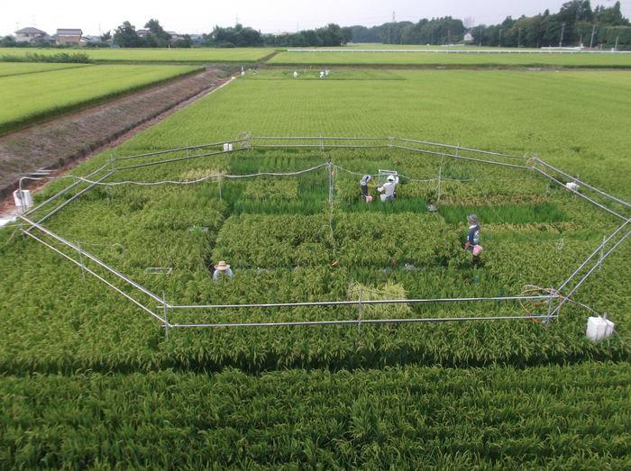 L'expérience du riz avec les niveaux de CO2 - Crédit : Dr. Toshihiro HASEGAWA (National Agriculture and Food Research Organization of Japan).