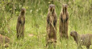 Des mangoustes rayées - Crédit : Feargus Cooney