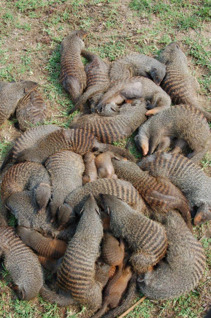 Un groupe de mangoustes - Crédit : Harry Marshall