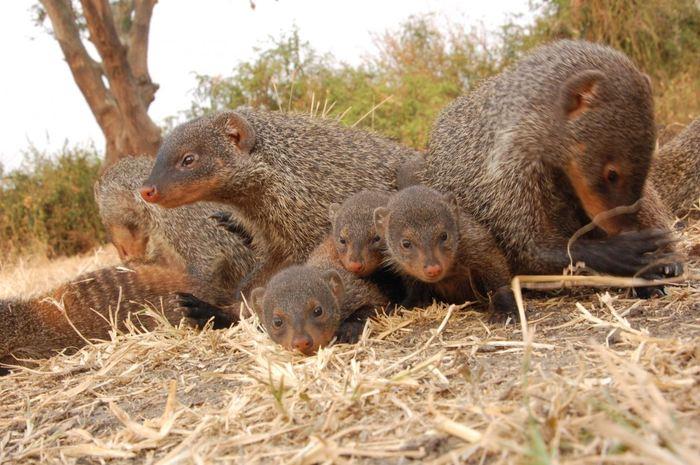Une étude suggère que chez les mangoustes rayées, l'héritage culturel influence considérablement leurs habitudes alimentaires. Des habitudes alimentaires, apprises pendant les premiers mois auprès d'individus qui ne sont pas leurs parents, persistent pendant toute leur vie.