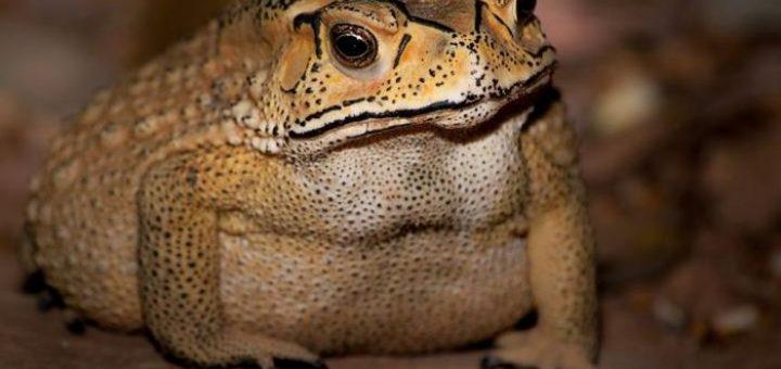 Le Duttaphrynus melanostictus, un crapaud toxique qui menace la faune de Madagascar - Crédit : Benjamin Marshall