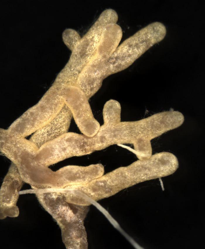 Le champignon Boletus subtomentosus plus connu comme le Bolet subtomenteux - Crédit : Imperial College London