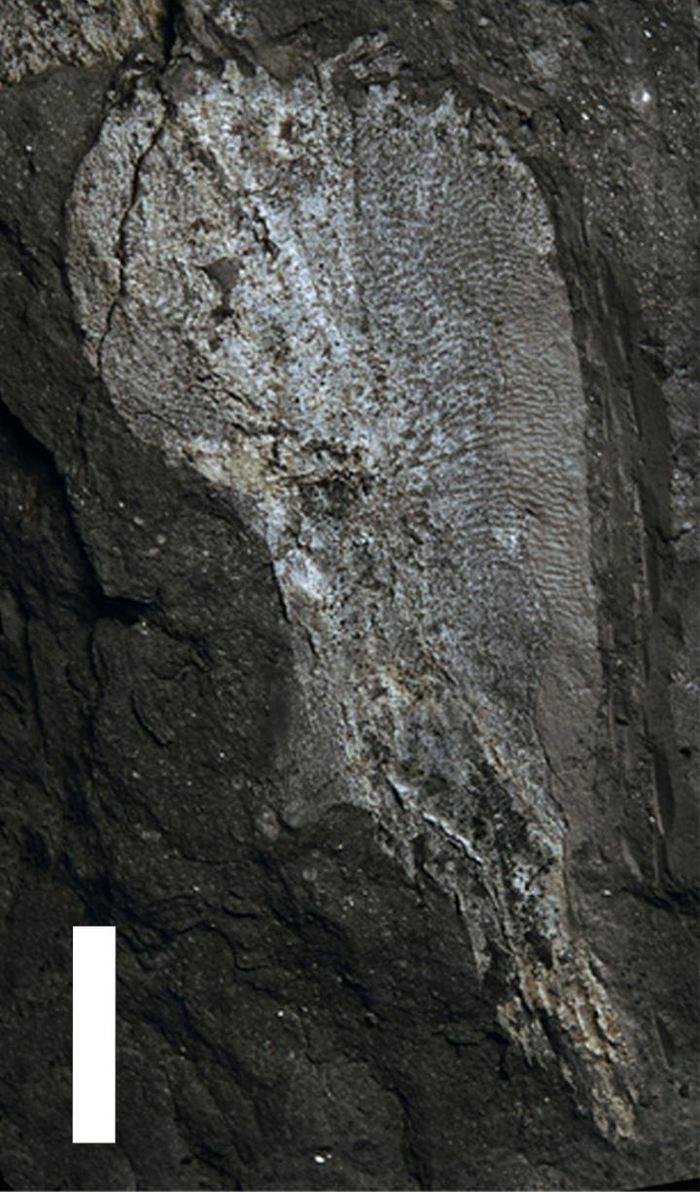 Un cleithrum d'Umzantsia amazana - Crédit : Rob Gess et Per Ahlberg