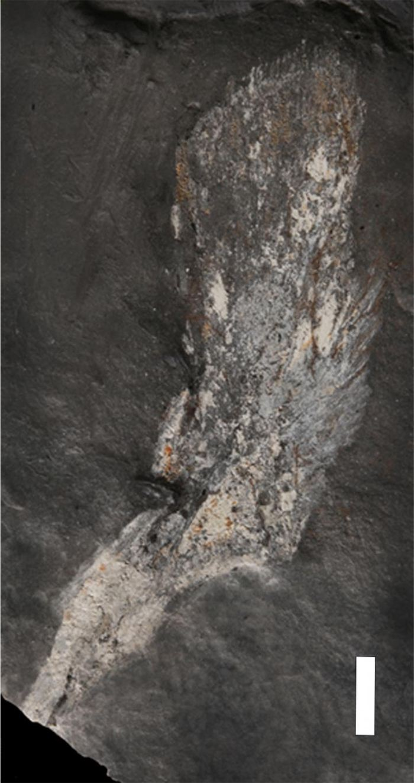 Un cleithrum d'Tutusius umlambo - Crédit : Rob Gess et Per Ahlberg