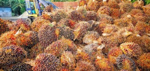 Une étude mesure l'impact de la culture d'huile de palme sur les écosystèmes et la fertilité des sols. Les résultats sont loin de remporter la palme au podium de l'agriculture durable et soucieuse de l'environnement.
