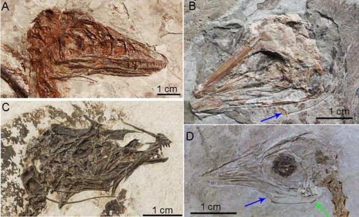 Des fossiles découverts dans le nord-est de la Chine avec les os hyoïdes préservés. Les flèches bleues et vertes pointent vers l'appareil hyoïde - Crédit : Li et al. 2018