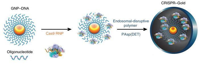 Pour créer CRISPR-Gold, une nanoparticule d'or est recouverte d'oligonucléotides d'ADN et décorée de ribonucléoprotéines Cas9, de complexes de protéines et d'ARN guide. Il est ensuite recouvert d'un polymère qui aide la particule à être absorbée par les cellules et pour cette étude, c'était pour les neurones, les astrocytes et les microglies dans le cerveau - Crédit : UC Berkeley