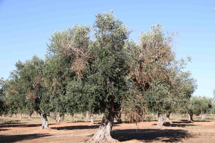 Un olivier atteint de Xylella fastidiosa, avec des symptômes visuels de chlorose et de défoliation - Crédit : Juan A. Navas-Cortes