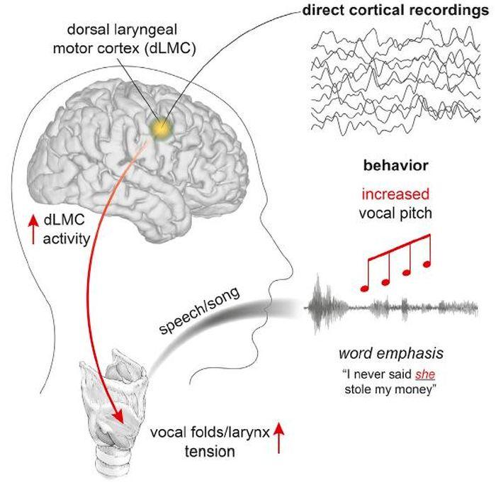 Ce visuel montre comment la capacité à contrôler la hauteur vocale pendant la parole et le chant est codée par le cortex moteur laryngé dorsal chez les humains - Crédit : Dichter et./Cell
