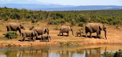 Les Afrothériens, tels que les éléphants, sont le seul groupe de mammifères qui ne montrent pas de descendance testiculaire, mais qui ont plutôt des testicules positionnés profondément dans l'abdomen.