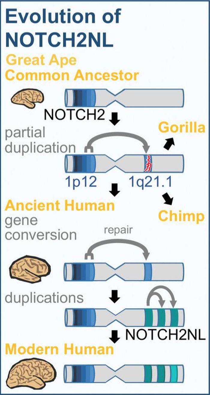Comme le montre ce diagramme, les gènes NOTCH2NL sont apparus lors d'un événement de duplication chez un ancêtre commun des humains, des chimpanzés et des gorilles, mais ils sont devenus des gènes fonctionnels uniquement dans la lignée humaine - Crédit : Sofie Salama