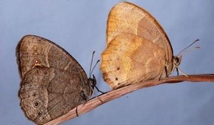 Cette photographie montre la forme sauvage du papillon africain Bicyclus anynana (à gauche) et avec des mutations dans la voie de la mélanine, en particulier dans le gène jaune (à droite) - Crédit : William H. Piel and Antónia Monteiro
