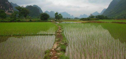 Les chercheurs qu'une espèce de riz, Oryza sativa, a développé des adaptations génétiques, afin de résister aux inondations. Des pistes qui permettraient de créer des semences plus résilientes face aux phénomènes météorologiques extrêmes à venir.