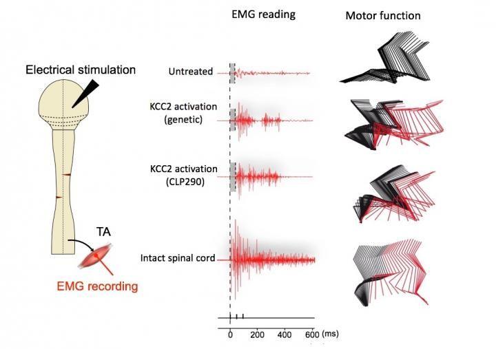 Ce schéma compare les enregistrements électromyographiques (EMG) de l'activité électrique du membre postérieur droit dans différents groupes de souris, ainsi que les mouvements de marche observés. Les souris, qui avaient KCC2 activé dans leurs neurones inhibiteurs après une lésion médullaire grave (par des moyens génétiques ou CLP290), montrent des modèles de marche qui se rapprochent de ceux des souris avec des moelles épinières intactes. La couleur rouge indique que ces souris faisaient un pas avec le membre postérieur et elle ne le trainaient pas (comme c'étaient le cas pour les souris non traitées) - Crédit : Zhigang He Lab, Boston Children's Hospital