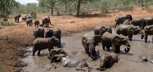 Des éléphants au point d'eau de Jejane au parc national du Greater Kruger en Afrique du Sud le 8 décembre 2017 - Crédit : Mark Wright, University of Hawaii at Manoa