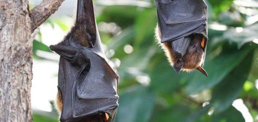 Une étude suggère qu'une espèce de chauve a volé un gène du virus Ebola. Le gène est responsable de la neutralisation du système immunitaire chez les humains. Chez les chauves-souris, ce gène est beaucoup plus atténué suggérant une relation particulière entre certains mammifères et des virus comme Ebola.