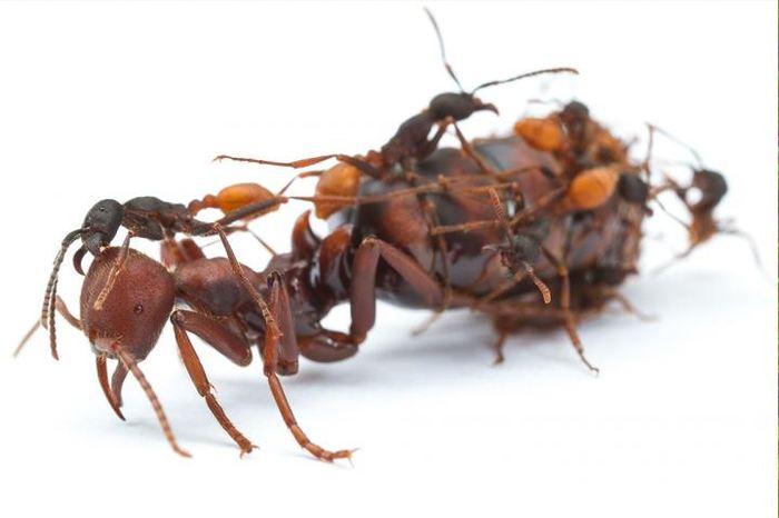 Une étude suggère qu'un gène, fonctionnant comme l'insuline chez les humains, a permis aux fourmis d'évoluer vers une caste spécialisée. La modification de la reproduction de ce gène nous a donné les reines et les ouvrières que nous voyons aujourd'hui.
