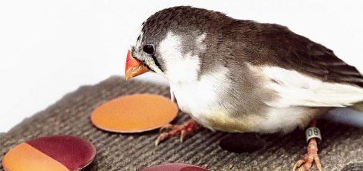 Avec des expériences sur un oiseau, appelé Diamant mandarin, les chercheurs démontrent que les oiseaux sont capables de catégoriser certaines couleurs comme les humains.