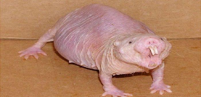 Une étude suggère des mécanismes très particuliers chez le rat-taupe nu concernant la reproduction et la vieillesse. Les individus reproducteurs vieillissent plus longtemps ce qui est contraire à l'évolution des mammifères des autres espèces.