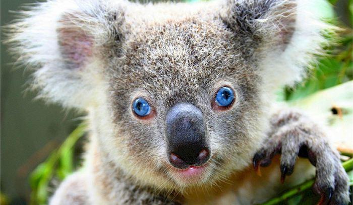 Les chercheurs rapportent une compréhension des rétrovirus chez les koalas. Ce processus permet de comprendre comment les rétrovirus deviennent progressivement des parties inertes d'ADN au fil du temps.