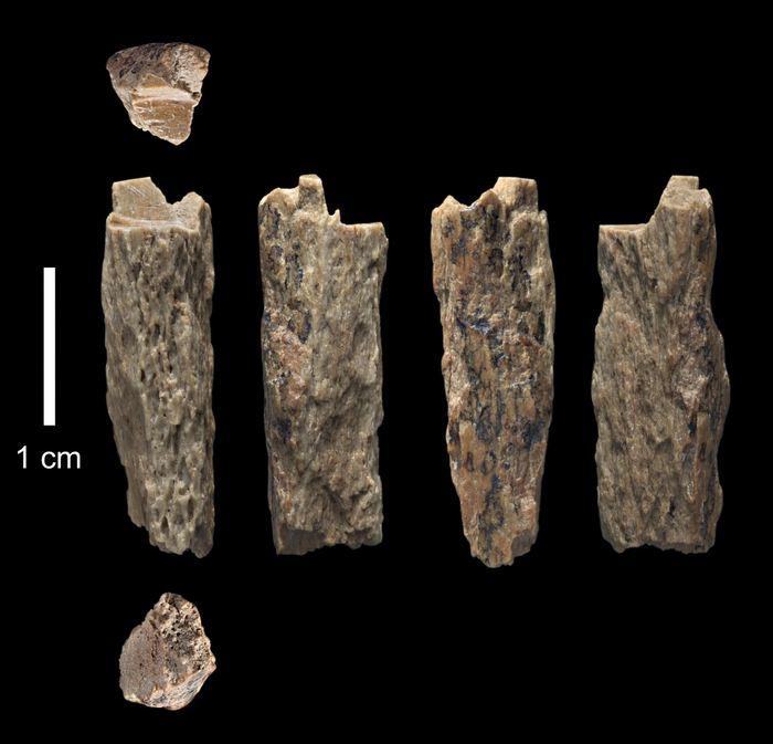 Ce fragment d'os ('Denisova 11') a été trouvé en 2012 à la grotte Denisova en Russie par des archéologues russes et représente la fille d'une mère néandertalienne et d'un père Denisovan - Crédit : T. Higham, University of Oxford
