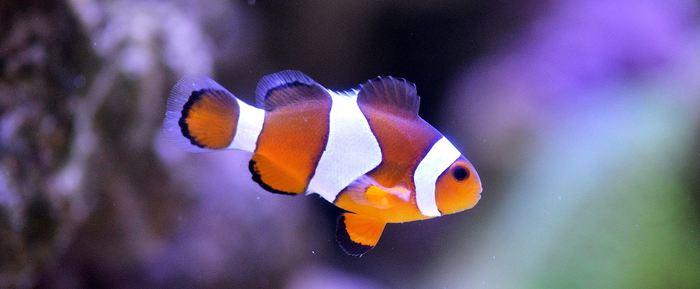 Une recherche offre des pistes sur la manière dont les poissons-clowns ont obtenu leurs rayures. Cela permettra aussi de comprendre la diversité des poissons de récifs coralliens.