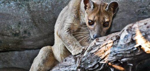 Un Fossa au zoo de Houston - Crédit : Josh Henderson, CC BY-SA