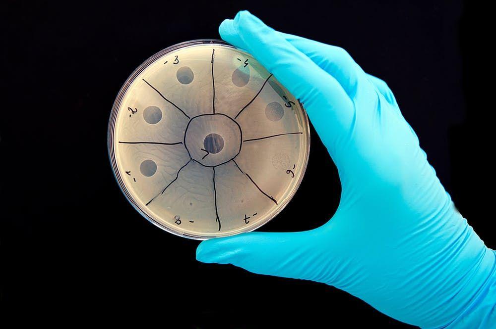 Les virus détruisent la bactérie lorsqu'elles sortent de la cellule. Ici, les cercles clairs indiquent où le bactériophage a tué la bactérie - Crédit : Guido4/Shutterstock.com