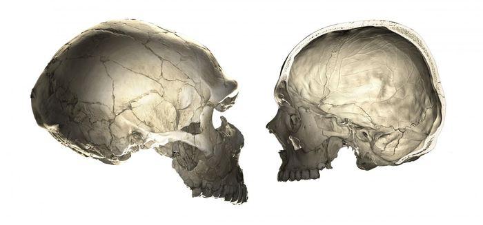 Cette image montre que l'un des traits qui distingue l'homme moderne (à droite) des Néandertaliens (à gauche) est la forme globulaire de la boite cranienne - Crédit : Philipp Gunz (CC BY-NC-ND 4.0)