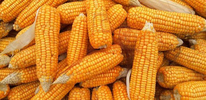 Les personnes qui défendent les points de vue les plus extrêmes opposés aux aliments génétiquement modifiés (OGM) pensent tout connaître sur les aliments génétiquement modifiés, mais en réalité, ce sont les plus ignorants dans ce domaine selon une nouvelle étude.