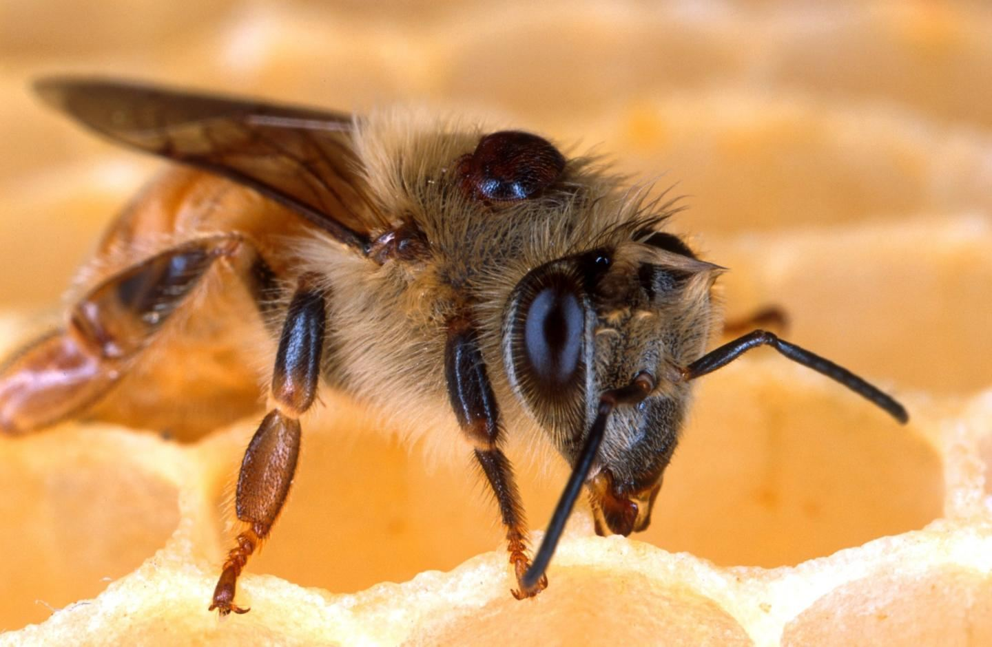Une abeille infectée par le Varroa destructor