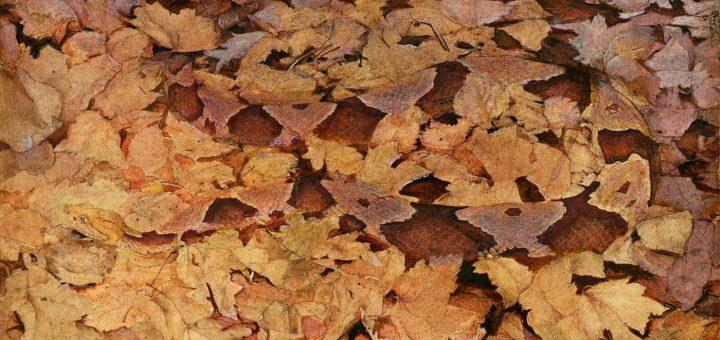 Un serpent de l'espèce Mocassin à tête cuivrée sur des feuilles mortes, tiré du livre Concealing Coloration in the Animal Kingdom, c1910-1915 par Abbott Handerson Thayer - Crédit : Smithsonian American Art Museum