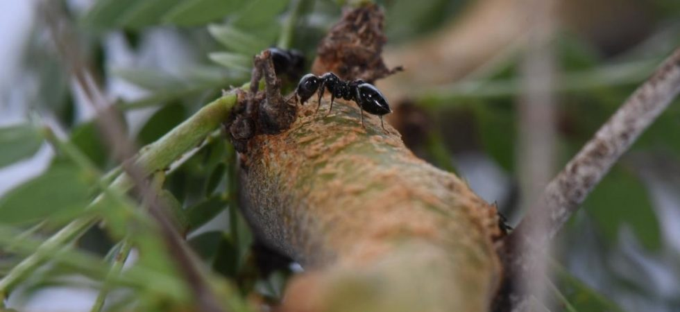 Des fourmis acacia sur leur arbre hôte (Crematogaster mimosae, Acacia zanzibarica) - Crédit : Felix A. Hager et Kathrin Krausa