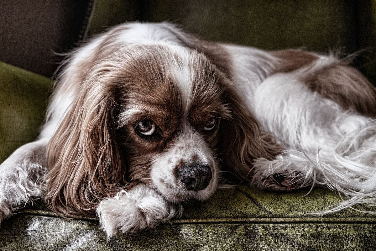 Même si le chien est domestiqué depuis des milliers d'années. Le concept des races de chiens n'a que 150 ans, datant de l'époque victorienne.