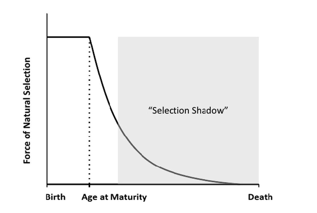 L'ombre de sélection est la force de sélection diminuée avec l'âge et le déclin de la reproduction - Crédit : Fabian et Flatt, 2011