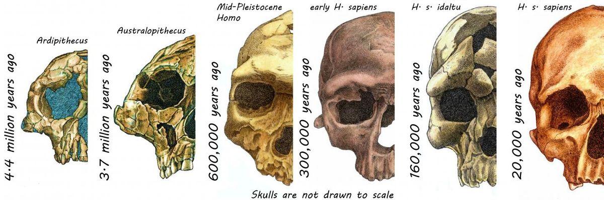 Visage humain - Des crânes d'hominines au cours des 4,4 millions d'années écoulées - Crédit : Rodrigo Lacruz