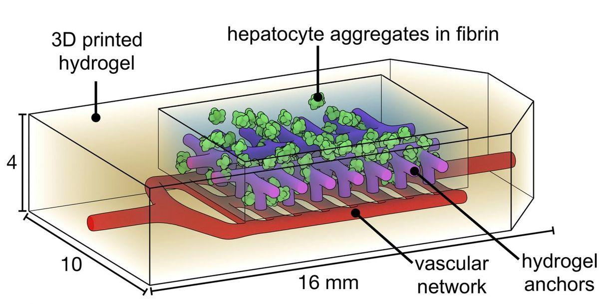 Des chercheurs de l'Université Rice et de l'Université de Washington ont effectué des expériences pour déterminer si des cellules du foie, appelées hépatocytes, fonctionneraient normalement si elles étaient incorporées dans un implant bioimprimé et implantées par voie chirurgicale chez la souris pendant 14 jours - Crédit : Jordan Miller/Rice University